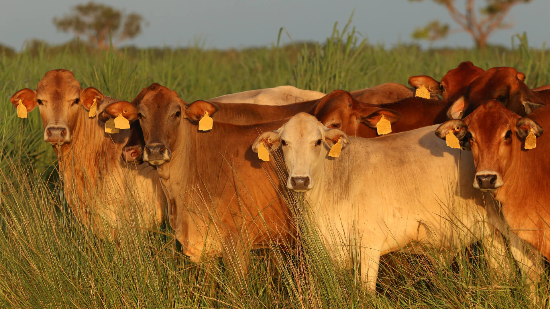 Brown Cattle with Ear Tags